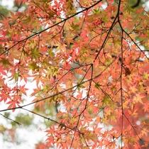 *[紅葉イメージ]仙石原周辺の紅葉見頃は、10月下旬~11月上旬です。