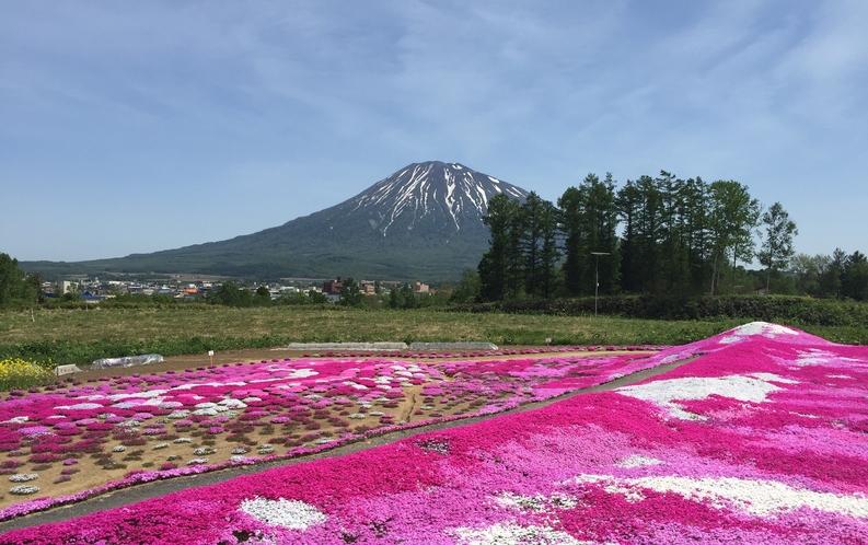 三島さんの芝桜