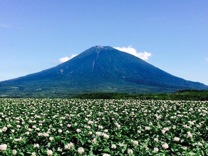 ジャガイモの花と羊蹄山