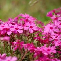 *当館庭の芝桜が満開です