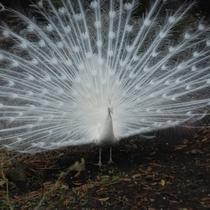 *羽を広げた白クジャク