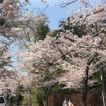 伊豆高原駅からつづく桜通り