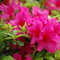 *とうとう満開。今年もきれいな花を咲かせています。