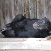 *ゴロゴロチンパンジー