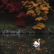 彦根城お堀の白鳥