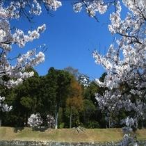 春の彦根城天守閣