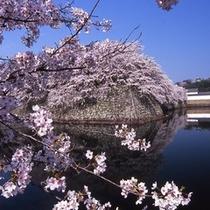 桜越しに見る彦根城お堀