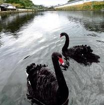 彦根城お堀の黒鳥