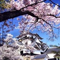 桜と彦根城天守閣
