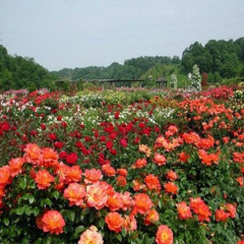 花フェスタ記念公園★バラが見ごろに。