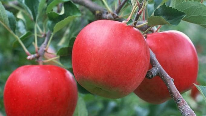 【フルーツ王国ふくしま】当館から車で10分!秋の味覚『りんご狩り』ご夕食は国産牛すき焼き会席