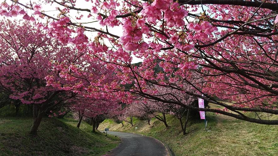恋人岬遊歩道の土肥桜並木