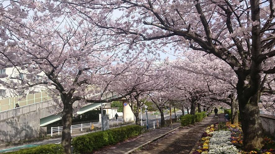 近隣の桜並木