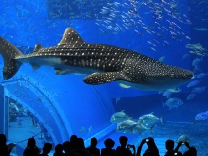 美ら海水族館【車で約30分】ジンベイザメ