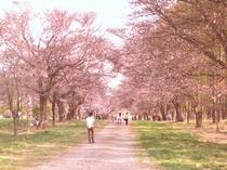 桜のトンネル 映画優駿の舞台