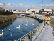 ホテル隣の古川の白鳥たち