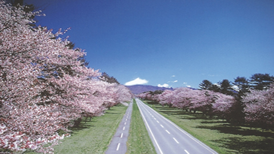 圧巻!日本一の桜並木