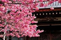 1月に満開を迎える土肥桜