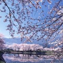 「治田公園」大小300本の吉野桜が咲き誇ります。4月中旬〜下旬には桜まつりが行なわれます。