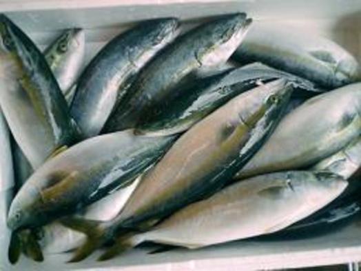 おやじが選んだ新鮮地魚のしゃぶしゃぶ堪能Fプラン♪