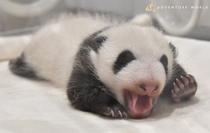アドベンチャーワールドパンダ赤ちゃん