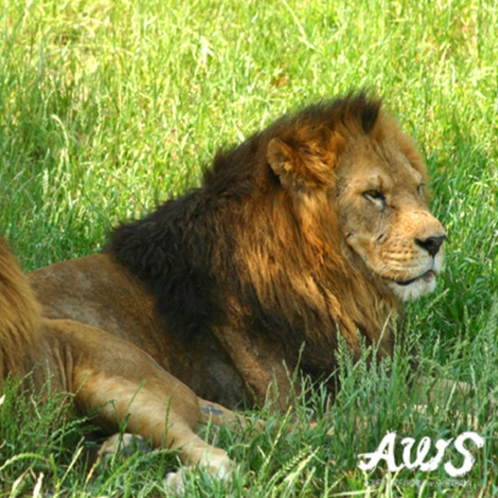 アドベンチャーワールドの百獣の王ライオン