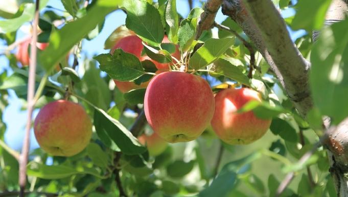 ◇採れたて新鮮◇「毛陽産りんごのお土産付♪」甘くて美味しい秋の味覚!<楓KAEDE>