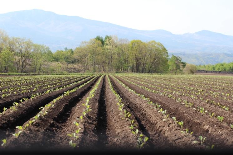 キャベツ畑