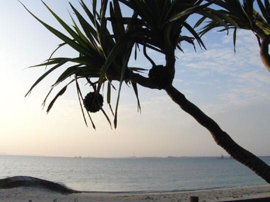 海岸の「あだん」。パイナップルのような実が生ります。