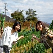 農業体験:岩津ネギの収穫時期は11月下旬~3月中旬ごろ。