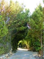 備瀬の福木並木