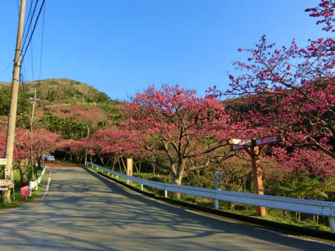 日本一早い桜