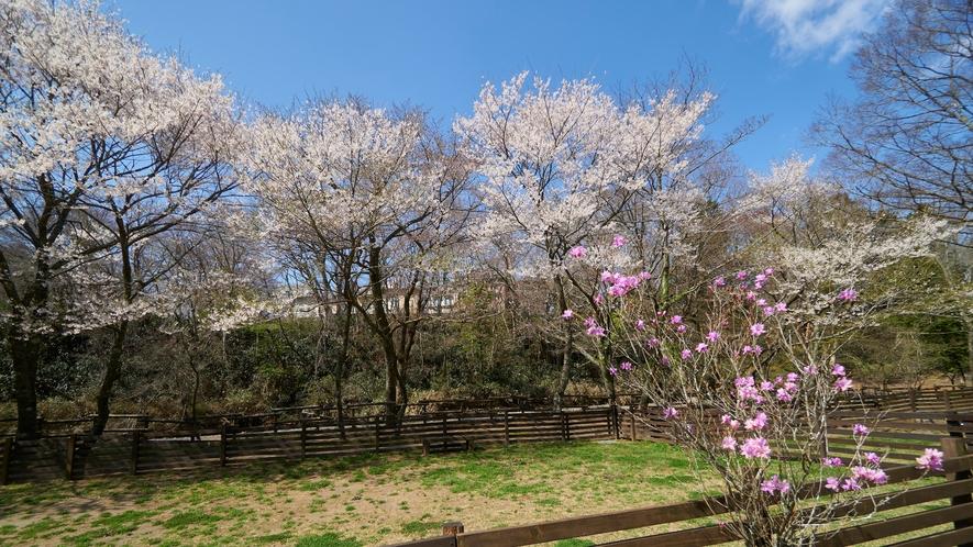 ドッグラン(桜)