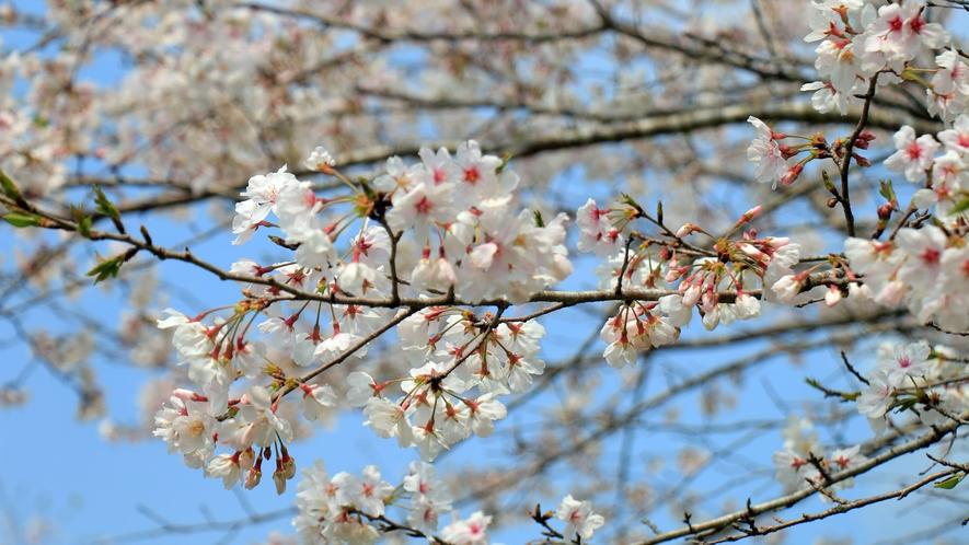 花立公園 周辺の桜