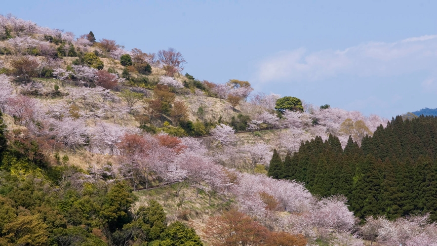 花立公園 一万本の桜