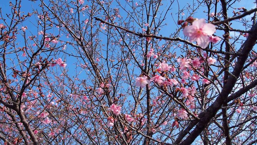 早咲きの桜として知られる「日南寒咲(にちなんかんざき)1号」