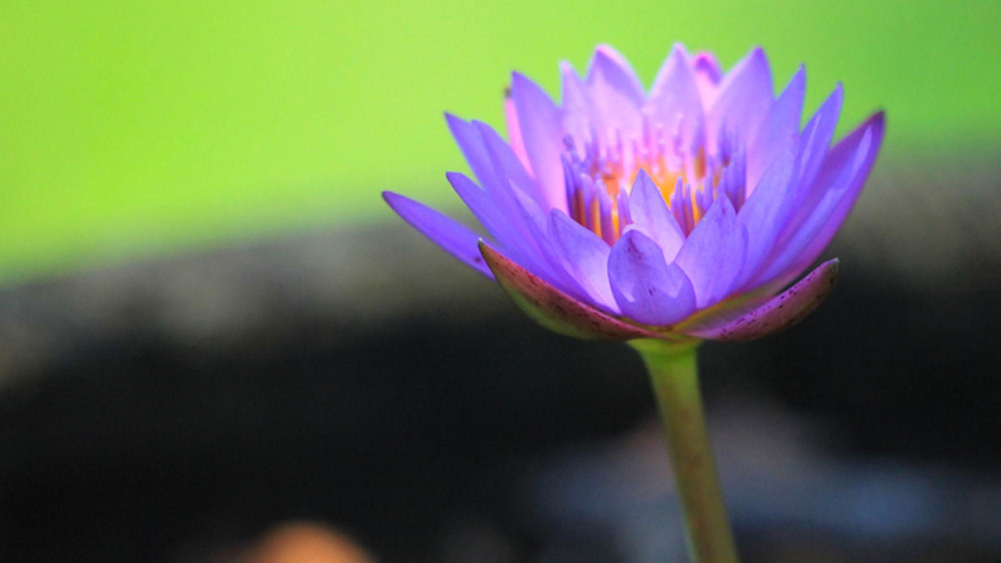 【ハス(蓮)の花】