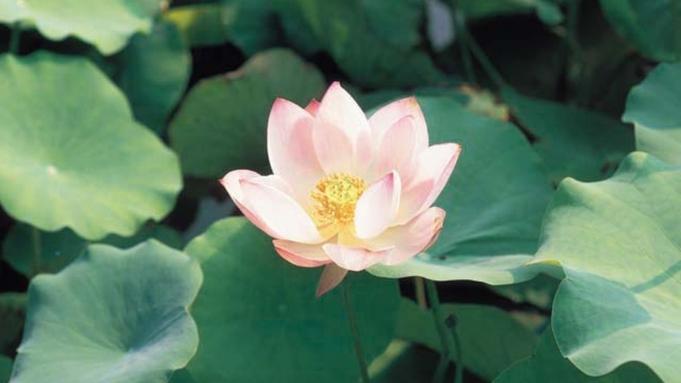 【花はす温泉そまやま名物◎はす会席】ここでしか味わえないヘルシーで美味な蓮料理♪温泉「はす湯」も◎