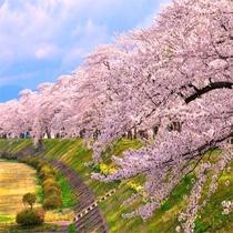 お花見シーズン 桧木内川提