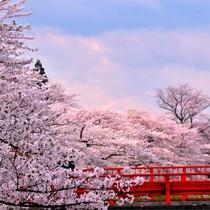 【春】 お花見シーズン 桧木内川提