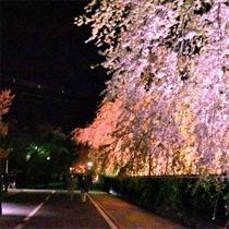 【春】 お花見シーズン 武家屋敷通り
