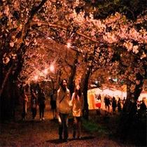 【春】 お花見シーズン 桧木内川提 夜のライトアップ