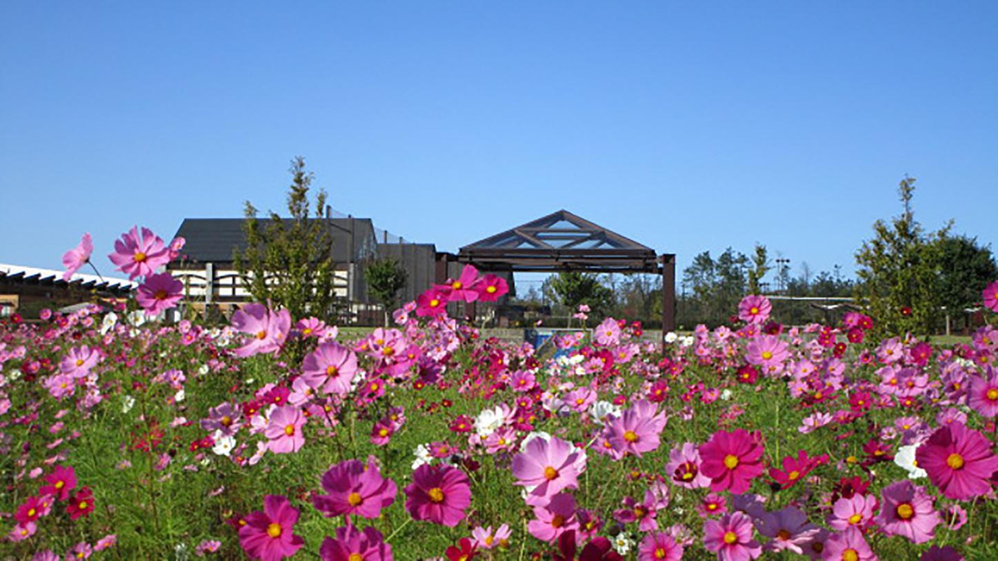 *[紫雲寺記念公園/コスモス]秋・例年見頃は10月中旬
