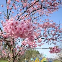 *[紫雲寺記念公園/オオヤマザクラ]春・例年見頃は4月上旬~中旬