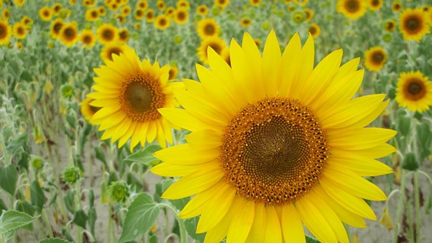 *[紫雲寺記念公園/ヒマワリ]夏・例年見頃は8月下旬