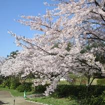 *[紫雲寺記念公園/桜]春・例年見頃は4月上旬~中旬