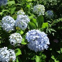*[紫雲寺記念公園/紫陽花]夏・例年見頃は7月上旬