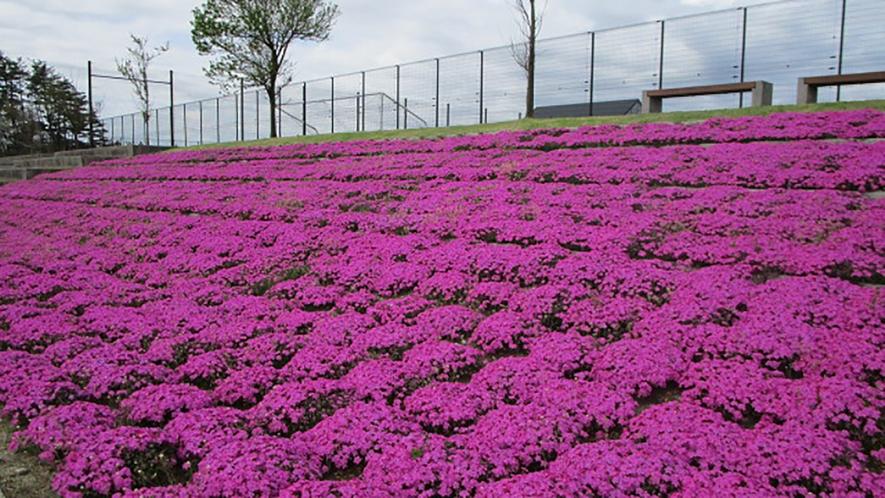 *[紫雲寺記念公園/芝桜]春・例年見頃は4月下旬
