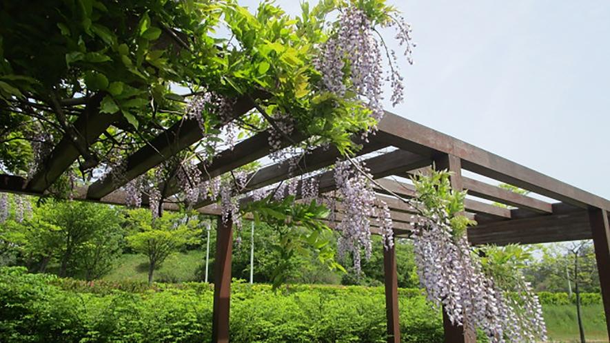 *[紫雲寺記念公園/藤]初夏・例年見頃は5月上旬