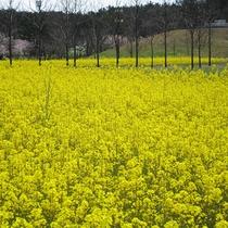 *[紫雲寺記念公園/菜の花]春・例年見頃は4月中旬